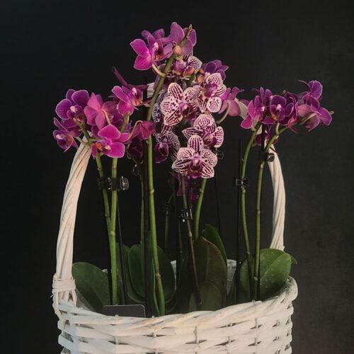 Мини-орхидея